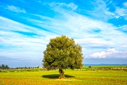 Lonely olive tree with blue cloudy sky. Ldyllic tree with sky. Ldyllic spring landscape.
