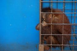 Lonely orang utan in a narrow enclosure