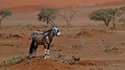 Lonely oryx antilope (East African oryx, oryx beisa, gemsbok) seeking for food in dry landscape with few trees and sand dunes in background at Sossusvlei, Namib desert, Namibia, Africa.