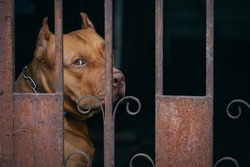 Lonely Pitbull dog behind rusty steel fence