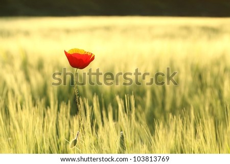 Lonely poppy in a field at dusk.