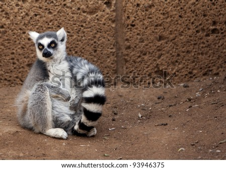 lonely pretty ring-tailed lemur sitting on the brown stone ground  floor in the Zoo - stock photo