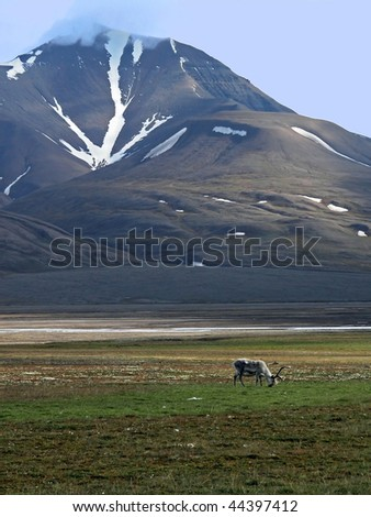 Lonely reindeer in tundra near mountains of Spitsbergen