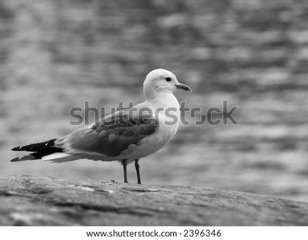 Lonely seagull on a rock. Black and white.