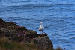Lonely seagull standing on a rock with the north sea in the background. The bird looks at some flowers.