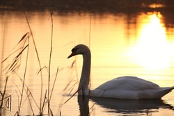 Lonely swan at dusk.