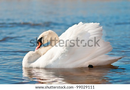lonely swan resting on the water