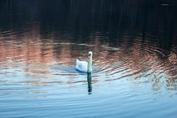 Lonely Swan Swimming in the River during Daytime before sunset in a Peaceful and Calm Water. Winter season