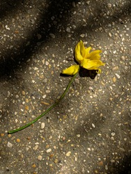 Lonely trampled et wilted yellow flower on the road in a sunlight in a park during springtime.