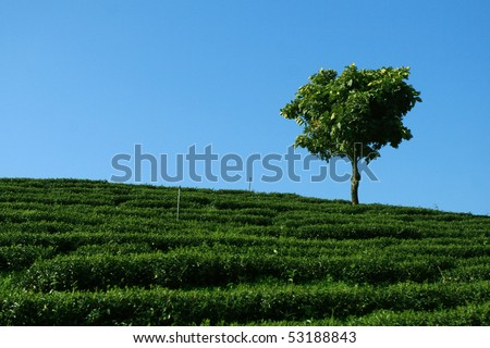 Lonely Tree in tea plantation - stock photo