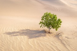 Lonely tree in the desert,  Death Valley