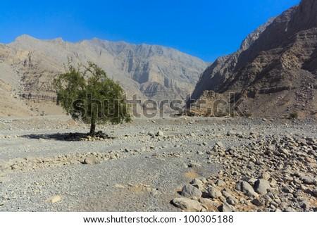 Lonely tree in the dry wash of Wadi Ghalilah, Emirate of Ras Al Khaimah, United Arab Emirates.