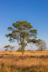 Lonely tree on the Noordsche Veld nature area in Drenthe, Netherlands