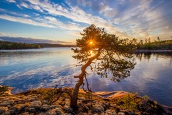 Lonely tree on the shore. Dawn. Wildlife of Karelia. Pine on the shore of Lake Ladoga. Travel to Russia. Republic of Karelia. Islands. Northern nature. The sun through the foliage of the tree.