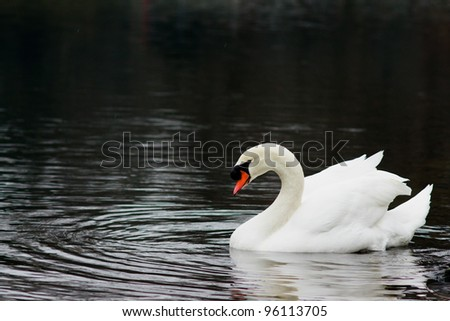 Lonely white swan on lake water surface.