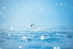Lonely white swan swimming on the sea, winter scene with snow