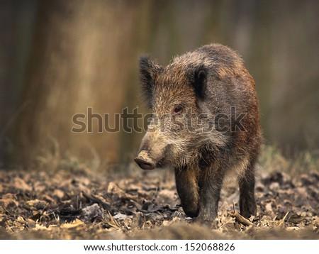 Lonely wild boar walks in forest