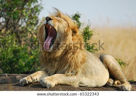 Lonely yawning lion rest upon the rock, Masai Mara, Kenya