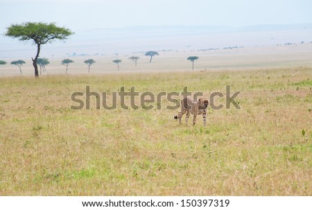 lonesome cheetah roaming through the savannah - national park masai mara in kenya