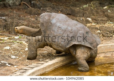 Lonesome George, a famous giant Galapagos tortoise.