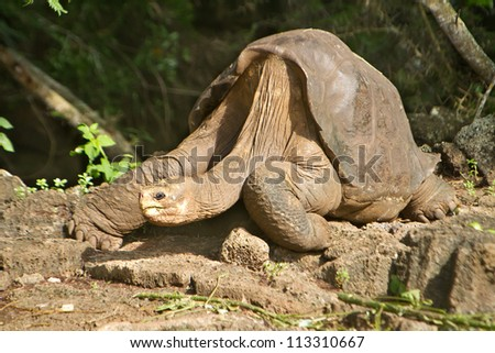 Lonesome George Galapagos, taken a few days before his death