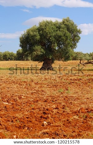 Lonesome olive tree in a dry field of red clay earth