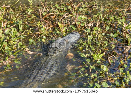 Long alligator with a giant head making way through lily pad covered river towards shore on sunny day