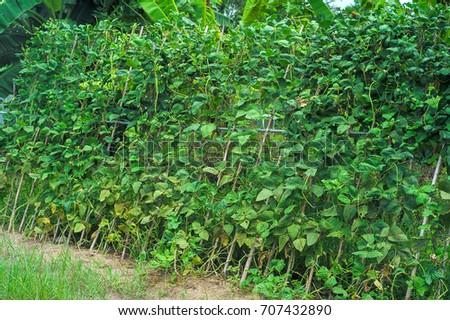 long bean plantation #707432890