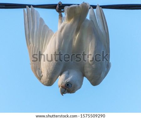 Long-billed Corella - Just hanging around at Woy Woy on the Central Coast of NSW, Australia