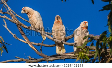 Long-billed corella or slender-billed corella is a cockatoo native to Australia, white feathers with an pink/orange edge along the bill, eyes and throat.