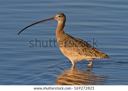 Long-billed Curlew, also known as sicklebird and candlestick bird, wading in blue water.