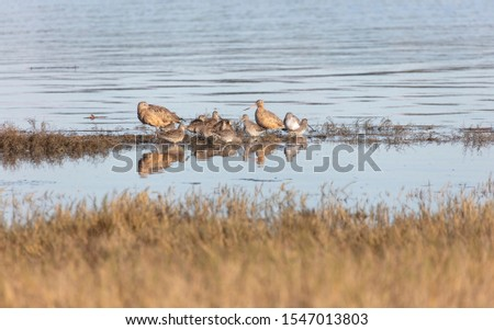 Long-billed Curlew, Long-billed Dowitcher, Greater Yellowlegs , Marbled Godwit at South Surry  British Columbia Canada