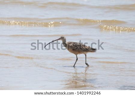 Long-billed Curlew (numenius americanus) (shorebird)