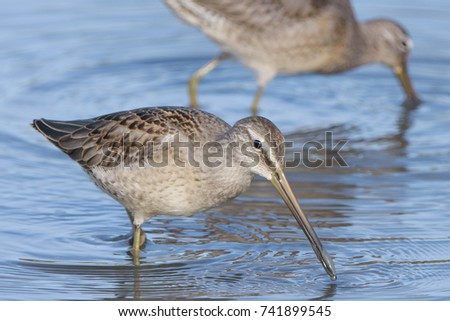 Long-billed Dowitcher #741899545