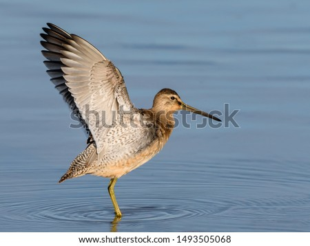 Long-billed Dowitcher with Open Wings