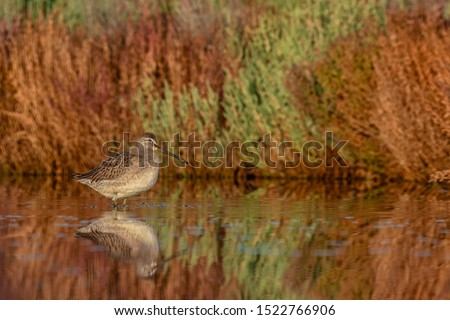 Long-billed Dowitcher with reflection and beautiful background - Limnodromus scolopaceus