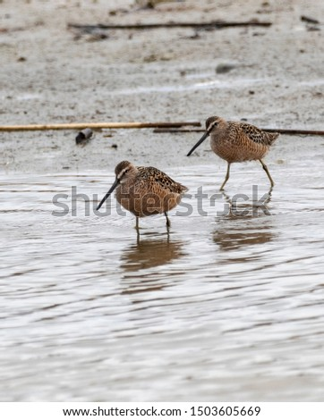 Long  Billed Dowitchers look for food in an Idaho wetland.