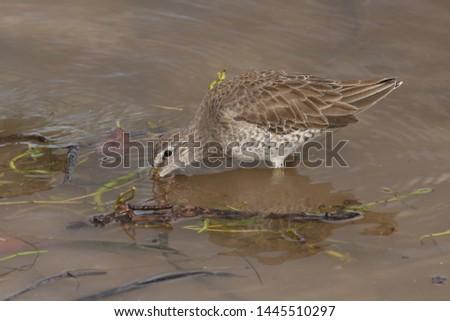Long-billed or Short-billed Dowitcher (winter plumage)