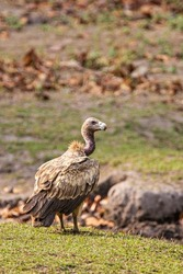 Long-billed Vulture sitting on the ground near a carcass in Bandhavgarh, India