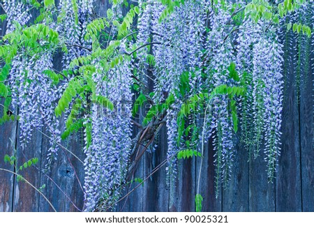 Long blooming spring-time flowers of wisteria draped in front of wooden fence in background