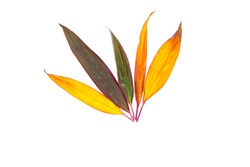 Long  bright  purple and orange leaves of a tropical plant isolated on white background.Croton leaf.