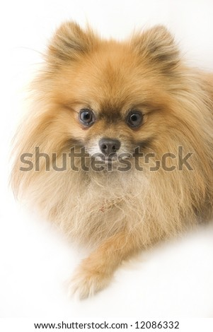 Long Brown Haired Small Dog Stock Photo 12086332 : Shutterstock