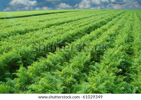 Long carrot field with cloudy sky