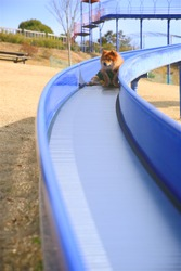 Long-coat cute smiling brown hair wearing clothes Japanese dog, playing on a long slide at park in sunny day outdoor portrait 3