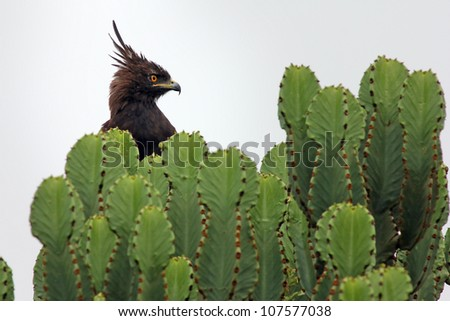 Long-crested Eagle (Lophaetus occipitalis) perches in cactus in Queen Elizabeth National Park in Uganda, Africa