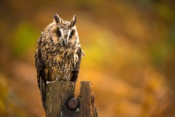 Long Eared Owl against a background of burnt orange autumn bracken/Long Eared Owl/Long Eared Owl