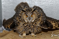 Long Eared Owl (Asio otus) Adult, holding out feathers displaying,close up portrait in care at wildlife rescue centre.