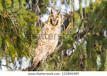 long-eared owl (Asio otus) in the tree close-up