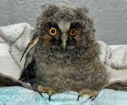 Long Eared Owl (Asio otus) Owlet in care at wildlife rescue centre.