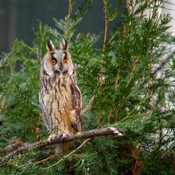 Long-eared owl (Asio otus). Portrait